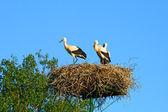 Stork family at nest — Stock Photo