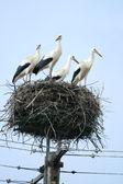 Família de cegonha no ninho — Foto Stock