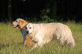 Dois golden retrievers — Foto Stock