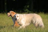 两只黄金猎犬 — 图库照片