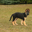 german shepherd puppy — Stock Photo