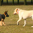 Stockfoto: Playing dogs