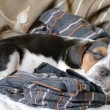 Royalty-Free Stock Photo: Tricolor beagle puppy sleeping