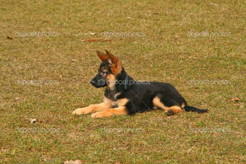 Portrait of a german shepherd puppy dog  Stock fotografie #2174872