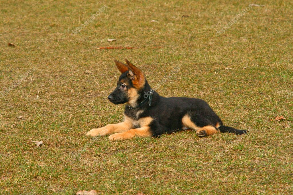 Portrait of a german shepherd puppy dog  Photo #2174872