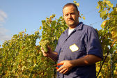 Harvesting grape — Stock Photo