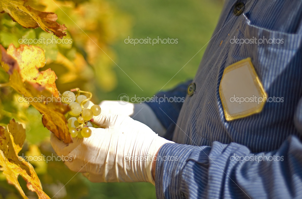 Grape harvesting in the vineyard — Stock Photo #1899046
