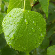 Raindrops on lime-tree leaves — Stock Photo