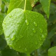 Stock Photo: Raindrops on lime-tree leaves