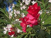 цветы белые и красные олеандр — Стоковое фото