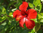 Red hibiscus — Stockfoto
