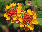 Red orange and yellow lantana flowers — Stock Photo