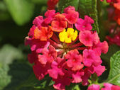 Lantana flowers — Stock Photo