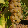 Stock Photo: Bunches of white grape