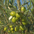 Stock Photo: Branches with green olives