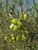 Branches with green olives — Stock Photo