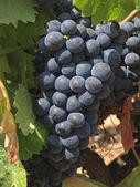 Bunchs winogron — Zdjęcie stockowe