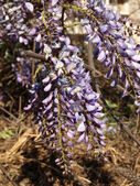 Wisteria flowers — Stock Photo