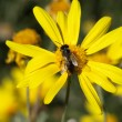 Bee on a yellow daisy — Stock Photo