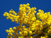 Mimosa flowers — Stock Photo