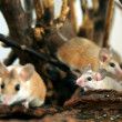 African, desert thorny mouse ( Acomys ca — Stock Photo