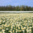 Field of spring flowers. — Stock Photo