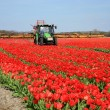 Stock Photo: Tulips farm in Netherlands.
