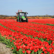Tulips farm in Netherlands. — Stok fotoğraf