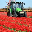 Tulips farm in Netherlands. — 图库照片