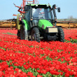 Tulips farm in Netherlands. - Stock Photo