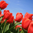 Red tulips – Dutch country — Stock Photo