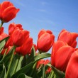 Red tulips – Dutch country - Stock Photo