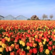 Spring flowers - Netherlands — Stock Photo