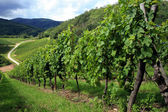 Vineyard in Alsace - France, Vosges — Stock Photo