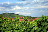 Vineyard in Alsace - France — Stock Photo