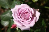 Rosa púrpura — Fotografia Stock