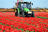 Tulips farm in Netherlands. — Stock Photo
