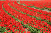 Dutch country – red tulips, Netherlands — Stock Photo