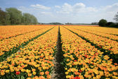 Dutch country yellow tulips, Netherlands — Stock Photo