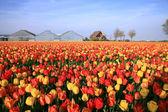 Jarní květiny - nizozemsko — Stock fotografie
