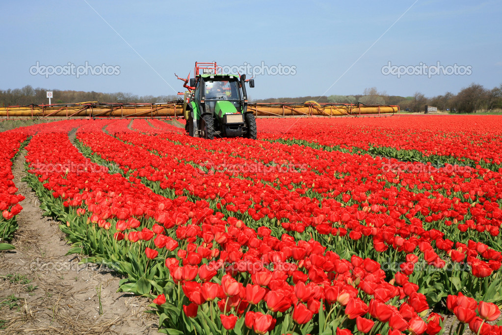 Tulips farm in Netherlands. Spring works on field. Tractor on field. — Stock Photo #1928414