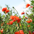 Red poppies — Stock Photo #1940020