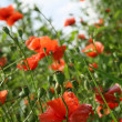 Red poppies — Stock Photo #1940073
