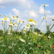 Chamomiles (camomile ) and sky. — Stock Photo