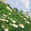 Chamomiles (camomile ) and sky. — Stock Photo #1940167