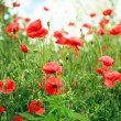 Red poppies — Stock Photo #1943150