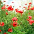 Red poppies — Stock Photo