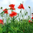 Foto Stock: Red poppies