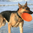 German Shepherd Dog ( Alsatian ) — Stock Photo