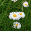 Stock Photo: Daisies